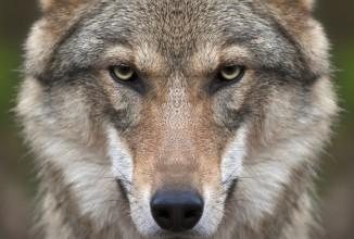 Caso lupi, esempio preoccupante