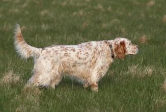 16^ Coppa Italia per cani da ferma su selvaggina naturale con CAC
