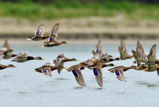 Protocollo operativo per utilizzo di uccelli da richiamo degli ordini Anseriformi e Caradriformi nell'attività venatoria