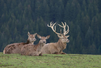 Biologia riproduttiva del cervo